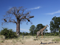 Baobab and giraffe